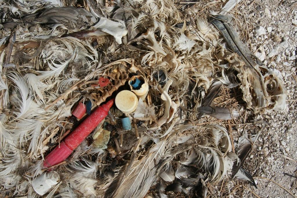 プラスチックを飲んで死んだアホウドリ。このような悲劇を起こすべきではありません。